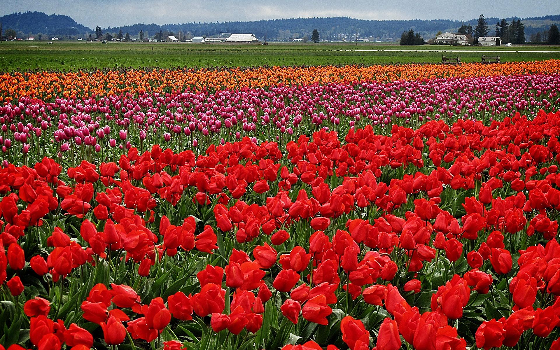Тюльпановая лихорадка